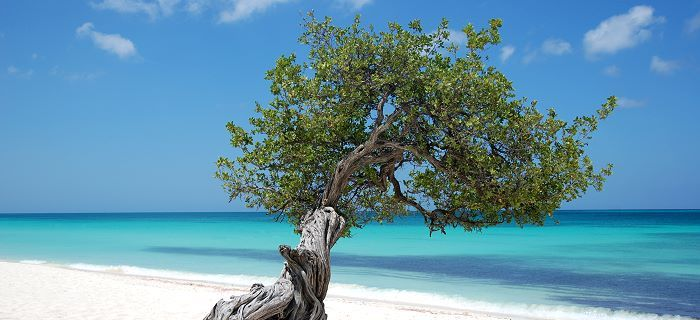 Aruba's national symbol - Divi Divi Tree